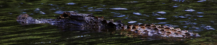 Panoramic Photograph - Mississippi Gator by Gulf Island Photography and Images