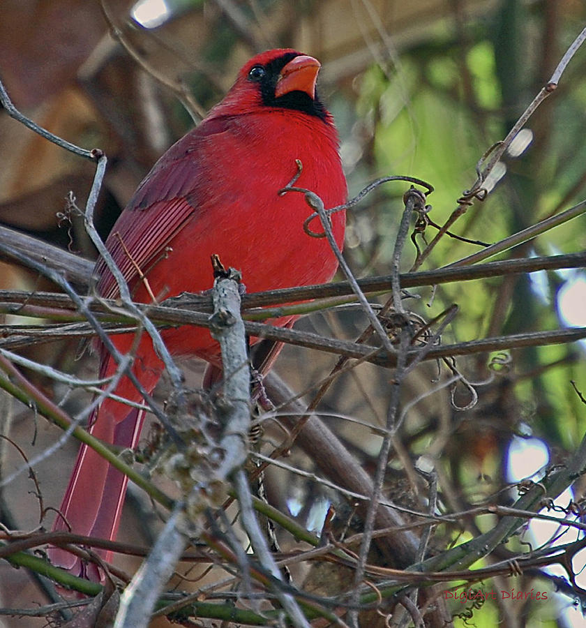 Cardinal Digital Art - Mister Cardinal by DigiArt Diaries by Vicky B Fuller