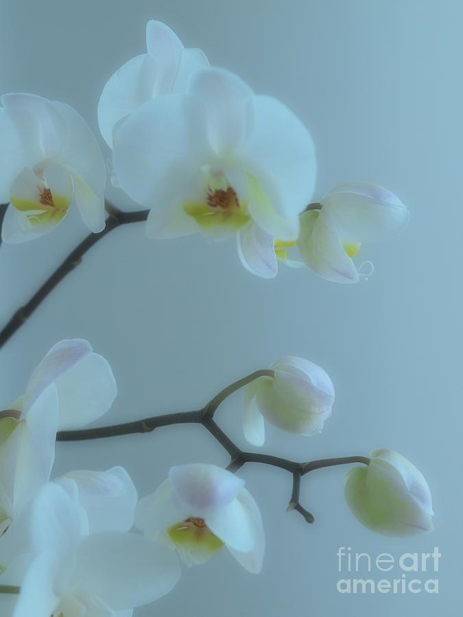 White Orchids Photograph - Misty Daze by Joyce Hutchinson