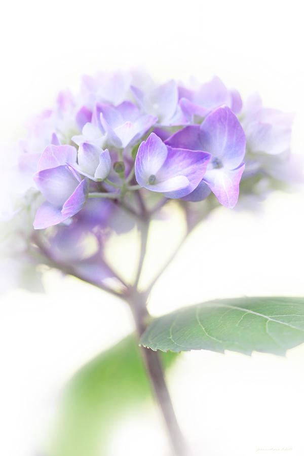 Hydrangea Photograph - Misty Hydrangea Flower by Jennie Marie Schell