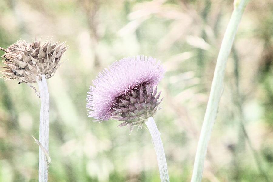 Purple Thistle Photograph - Misty Lilac Purple Thistle by Colleen Cornelius