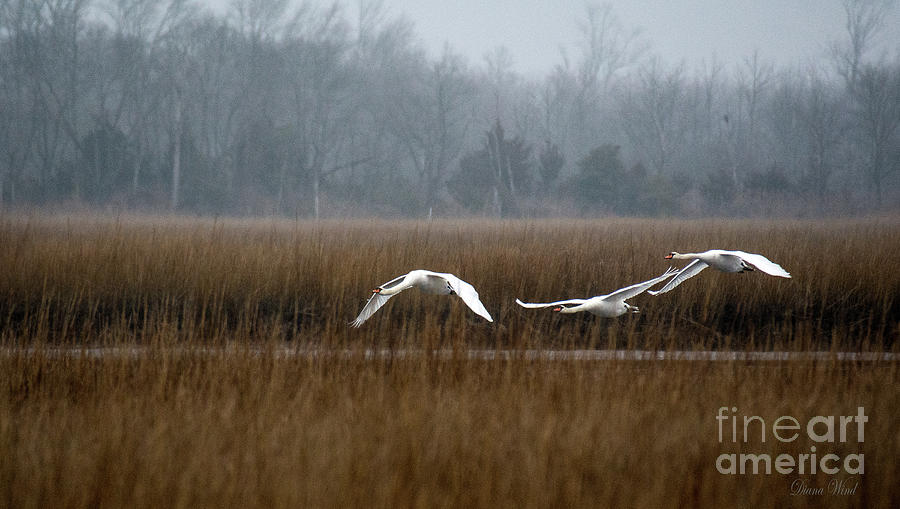 Swans Photograph - Misty Mute Swans Soaring South Jersey Wetlands by Diana Wind