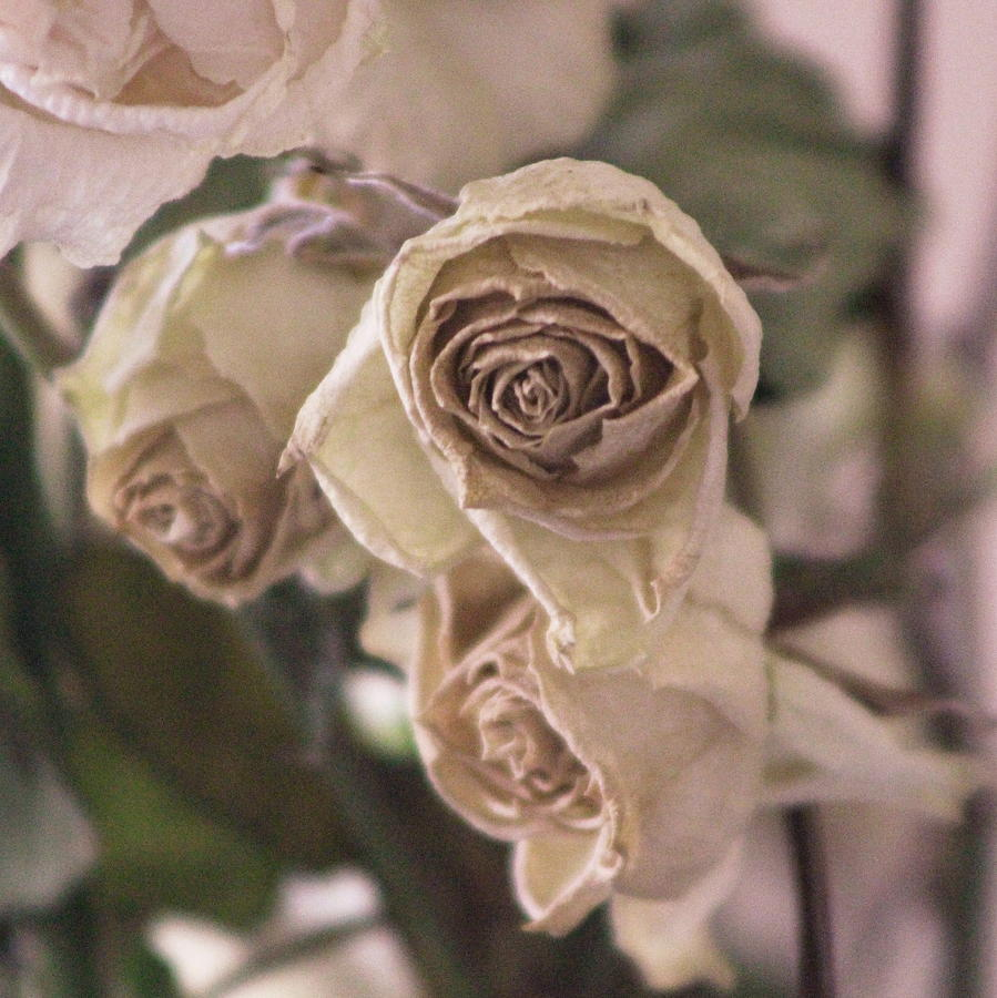 Rose Photograph - Misty Rose Tinted Dried Roses by Colleen Cornelius