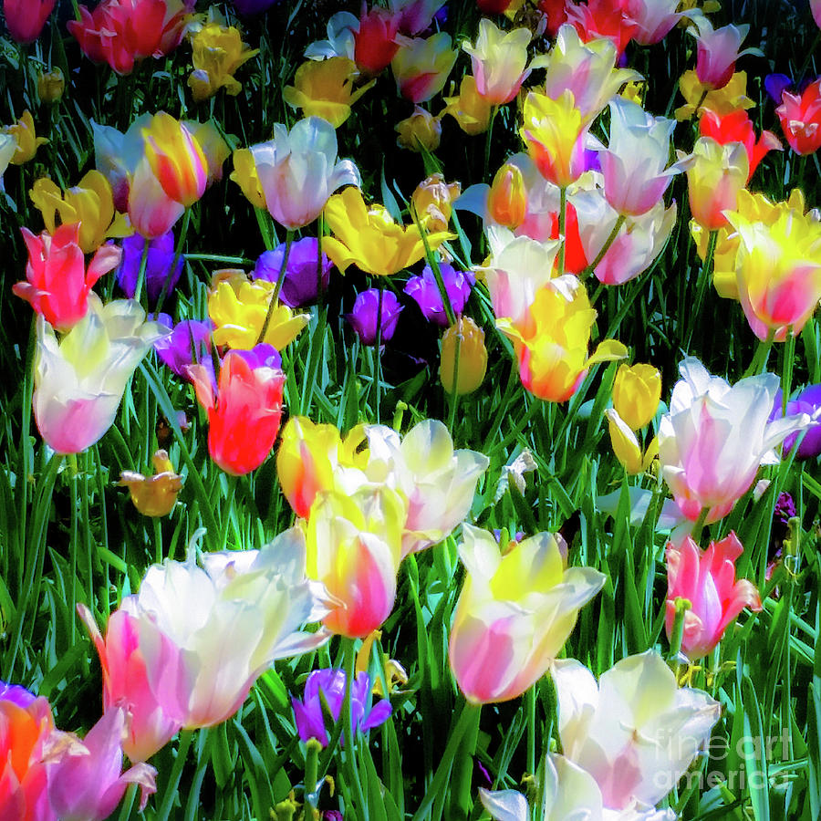 Tulips Photograph - Mixed Tulips In Bloom  by D Davila