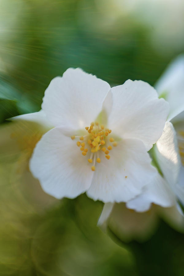Mock Orange 2 by Pamela Taylor