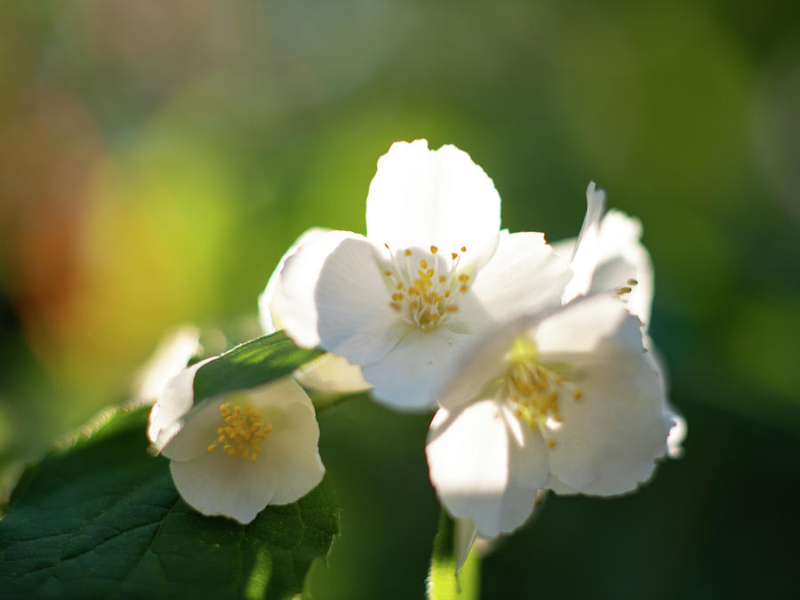 Mock Orange by Pamela Taylor