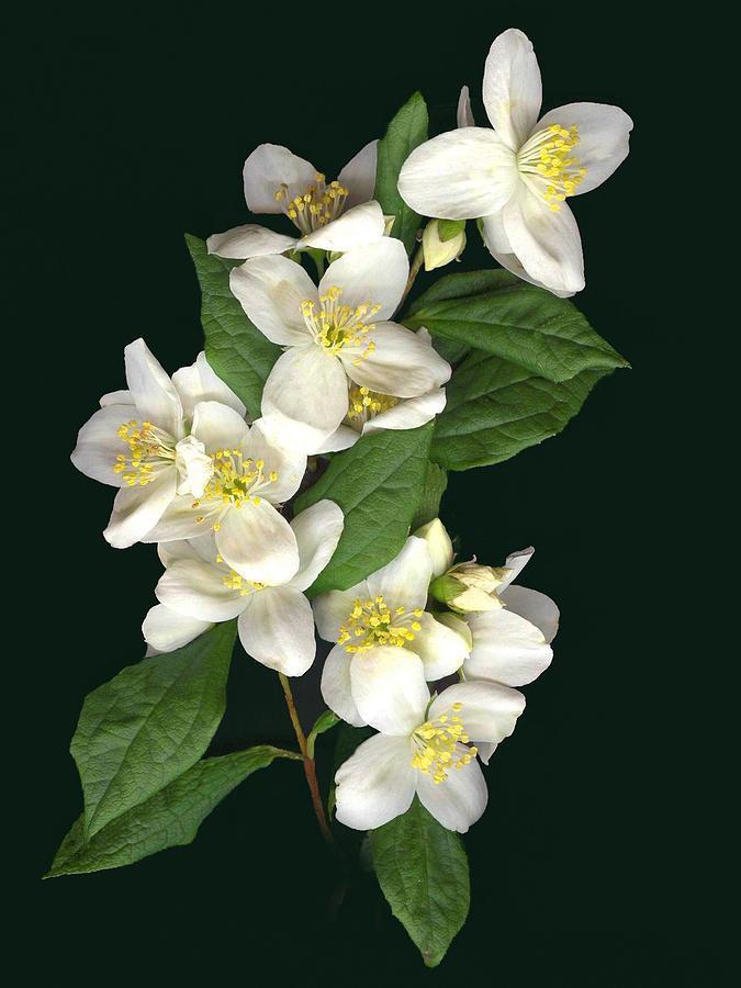 White Flowers Photograph - Mock Orange by Sandi F Hutchins