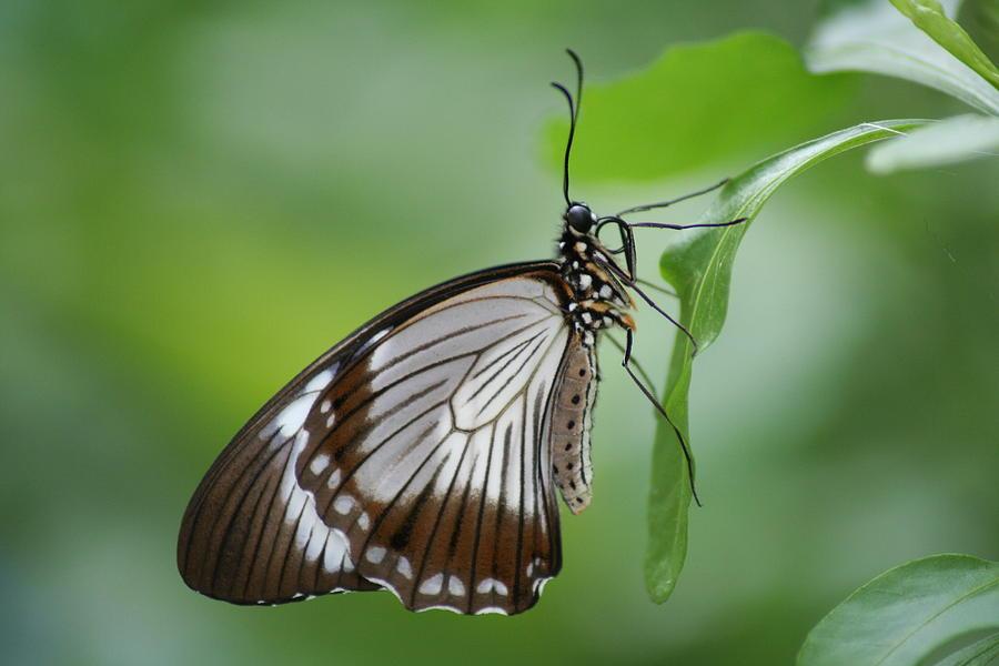 Mocker Photograph - Mocker Swallowtail by Jeff VanDyke
