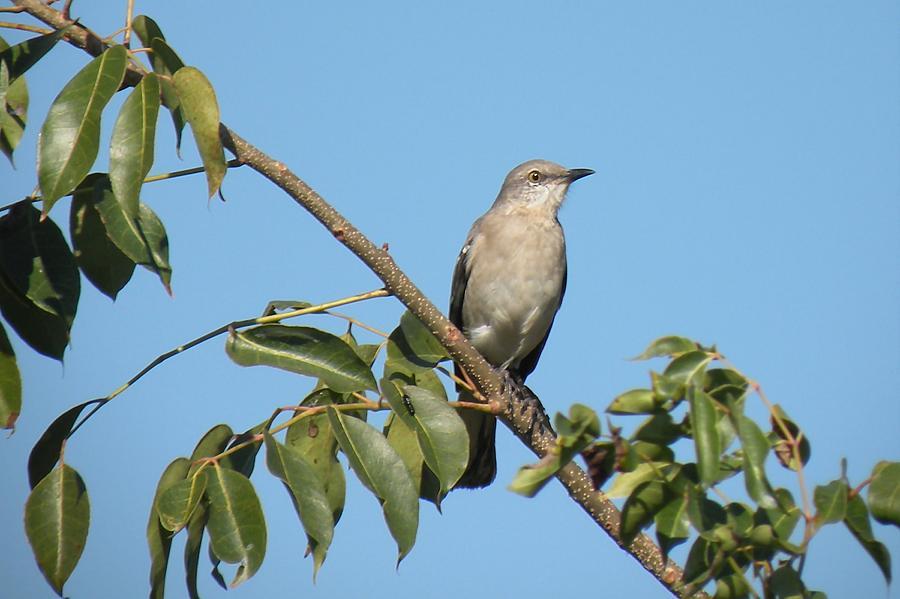 Bird Photograph - Mocking Bird by Rosalie Scanlon