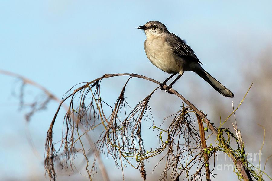 Mockingbird Photograph - Mockingbird by Rodney Cammauf