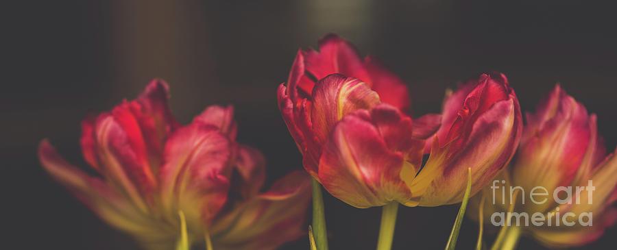 Modern Tulips 3 Photograph