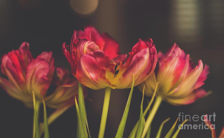 Modern Tulips Photograph