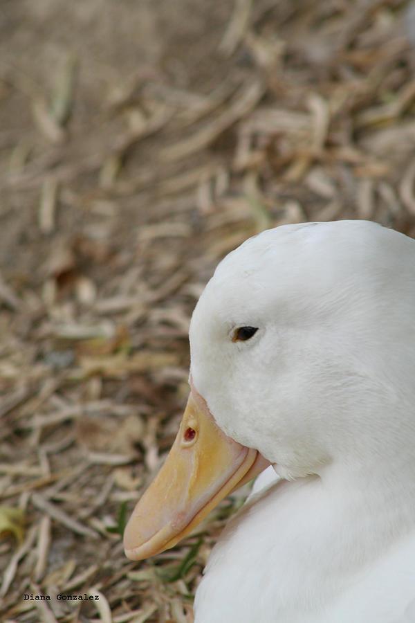 Duck Photograph - Modest by Diana Gonzalez