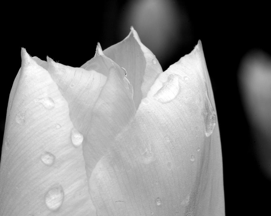 Tulips Photograph - Moist Lips by Scott Gould