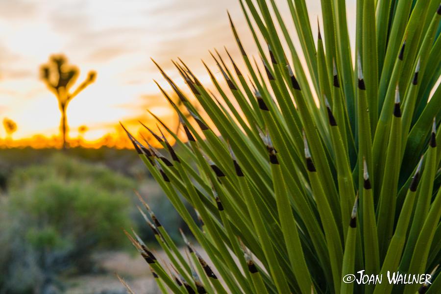 California Photograph - Mojave Yucca at sunrise by Joan Wallner