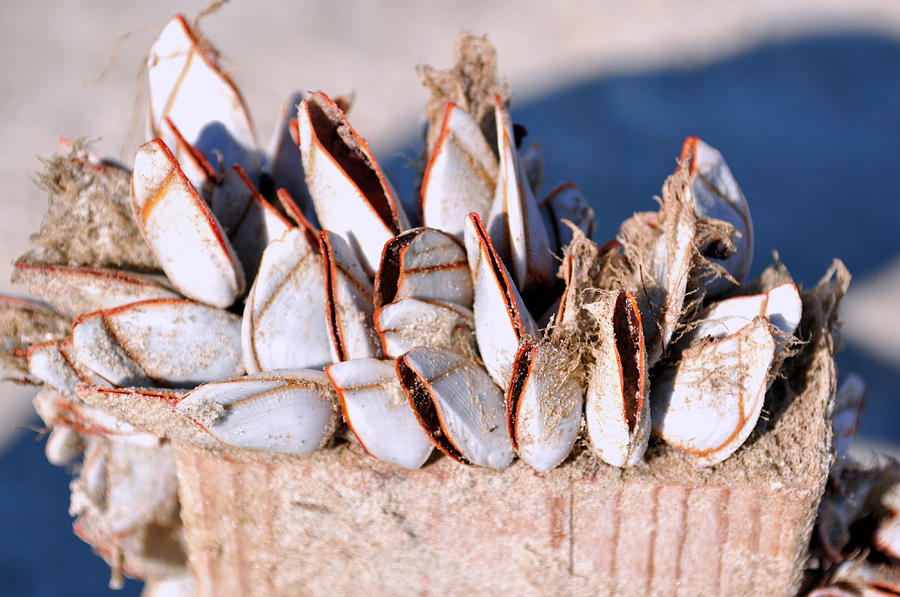 Mollusks Photograph - Mollusks On Wood Plank by Debra White