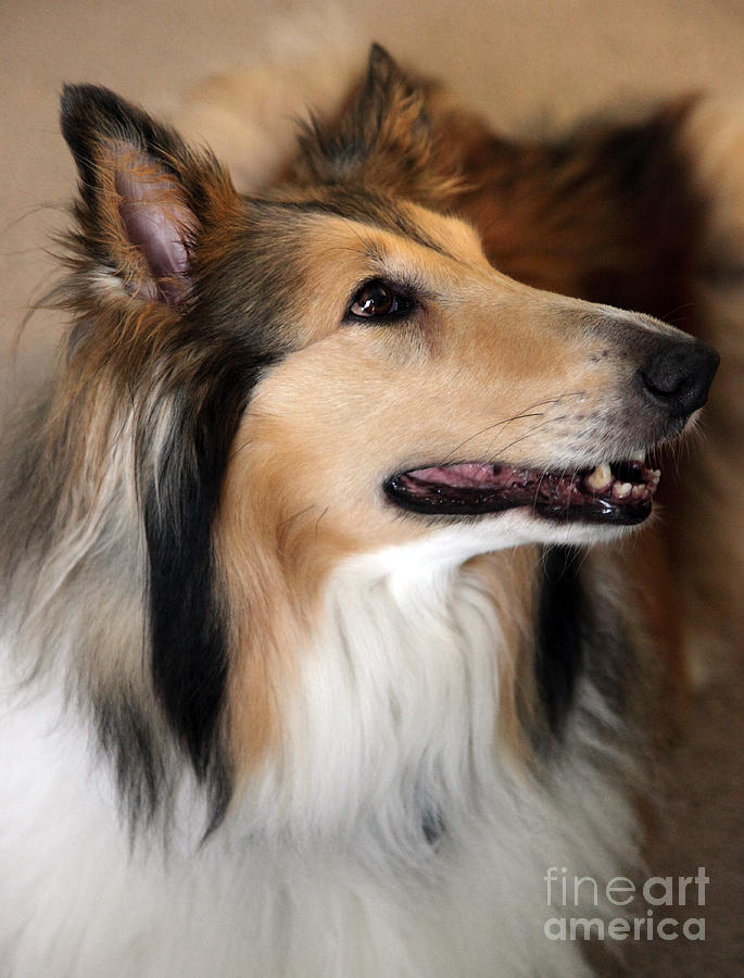 Collie Photograph - Molly by Amanda Barcon