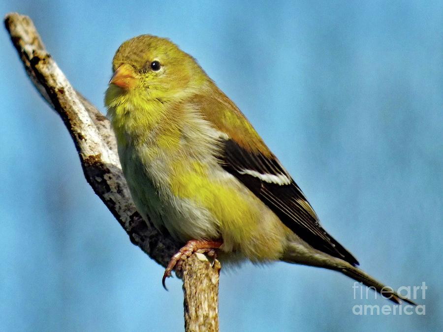 Molting Female American Goldfinch Photograph