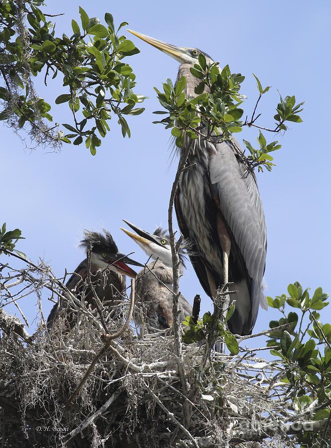 Blue Heron Photograph - Mom And Babies by Deborah Benoit