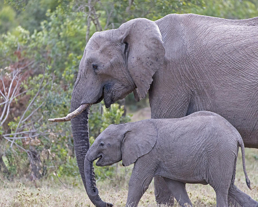 Elephant Photograph - Mom And Baby Elephant by Janet Ogren