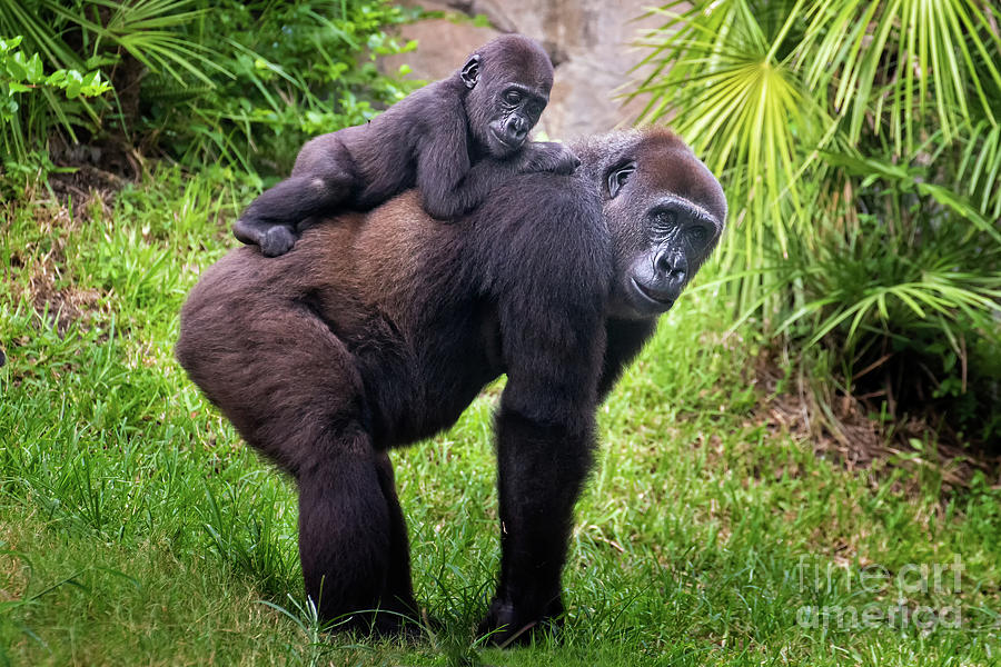 Mom and Baby Gorilla by Stephanie Hayes