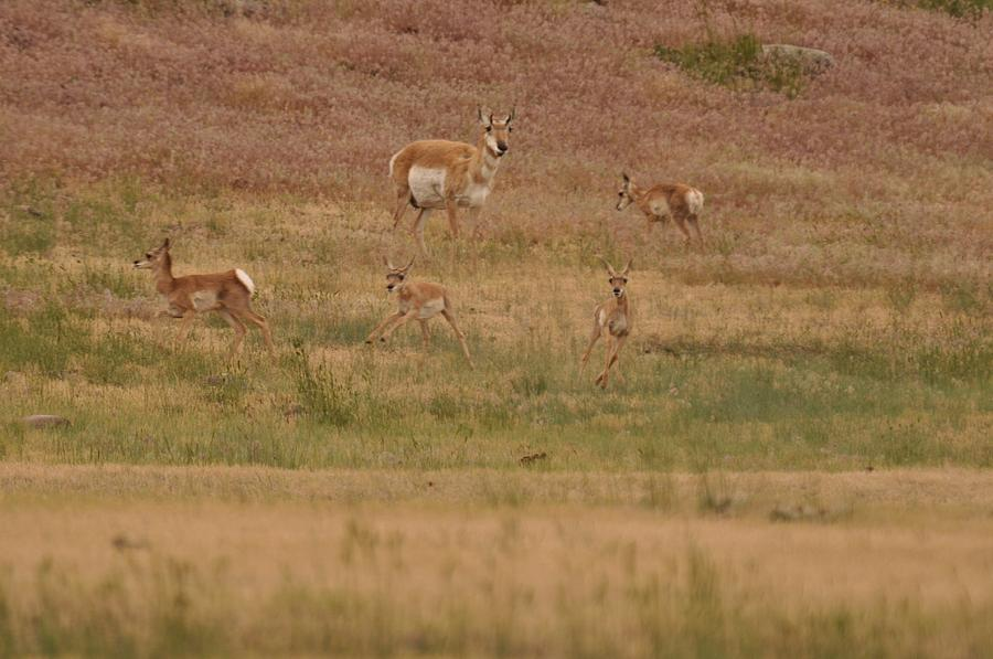 Mom Keeping A Watchful Eye On The Fawns Photograph