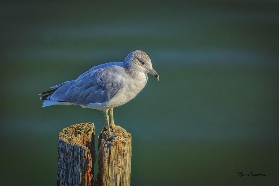 Birds Photograph - Momentary Pause by Ronn Orenstein