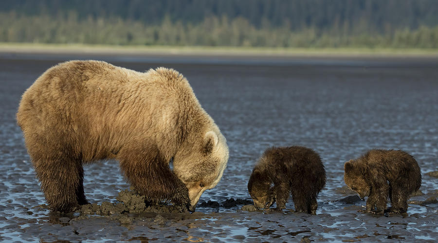 84d244e5 Momma Bear And Cubs In Alaska Photograph by Linda D Lester