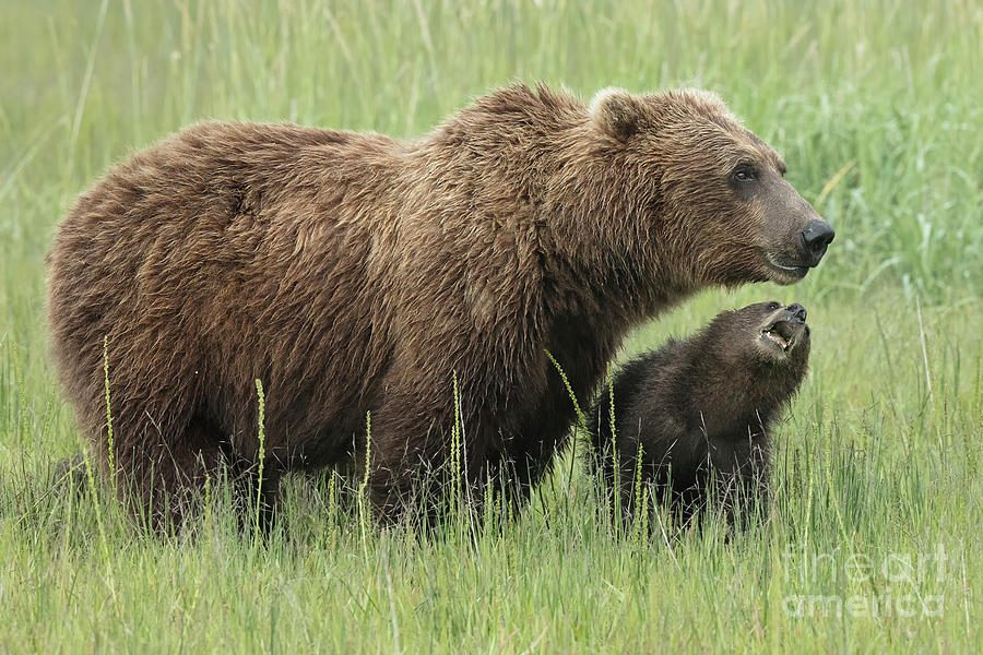 12c3e093 Animal Photograph - Momma Bear With First Year Cub by Linda D Lester