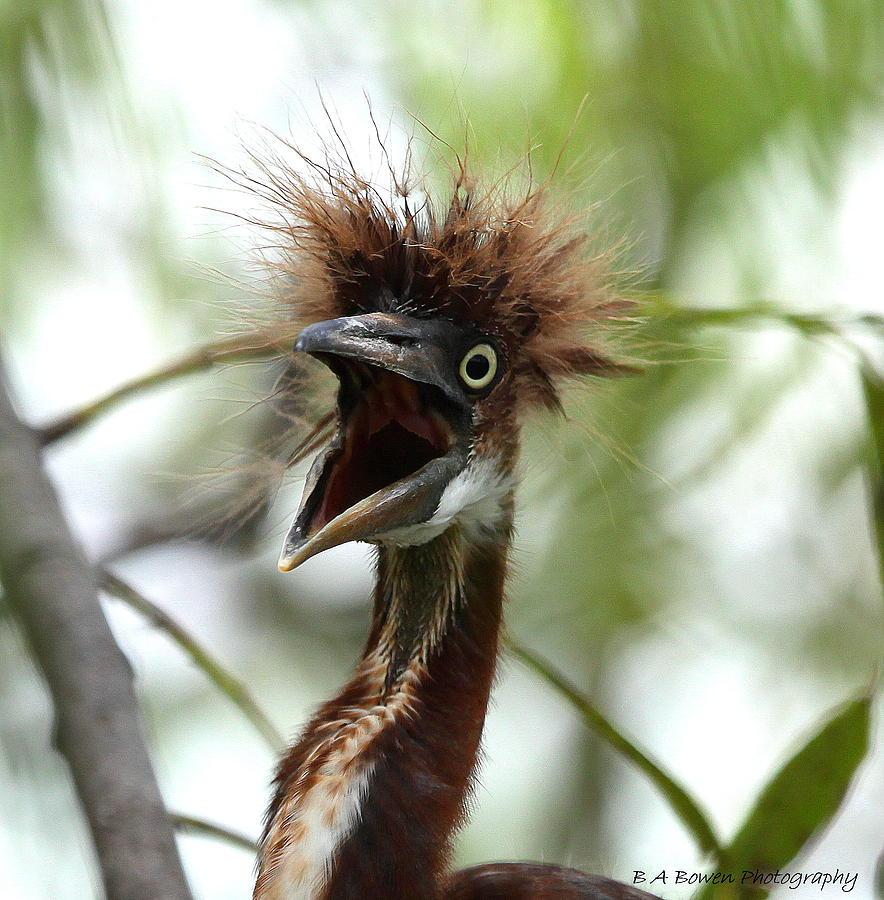 Heron Photograph - Momma I Am Hungry by Barbara Bowen