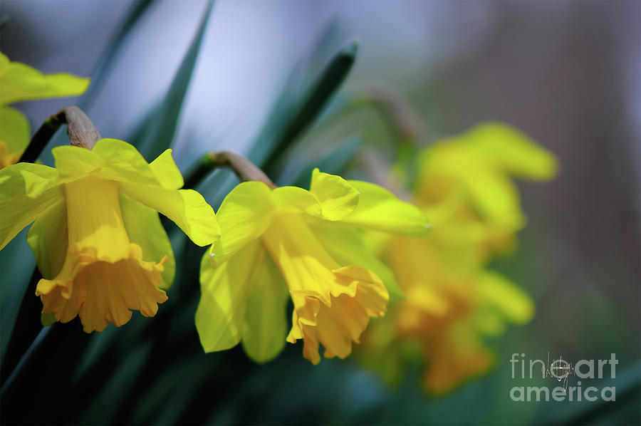 Daffodil Photograph - Moms Daffs by Lois Bryan