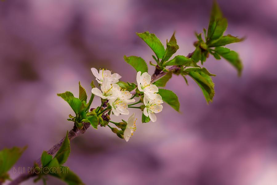 Cherry Photograph - Mon Cherry by Bulik Elena