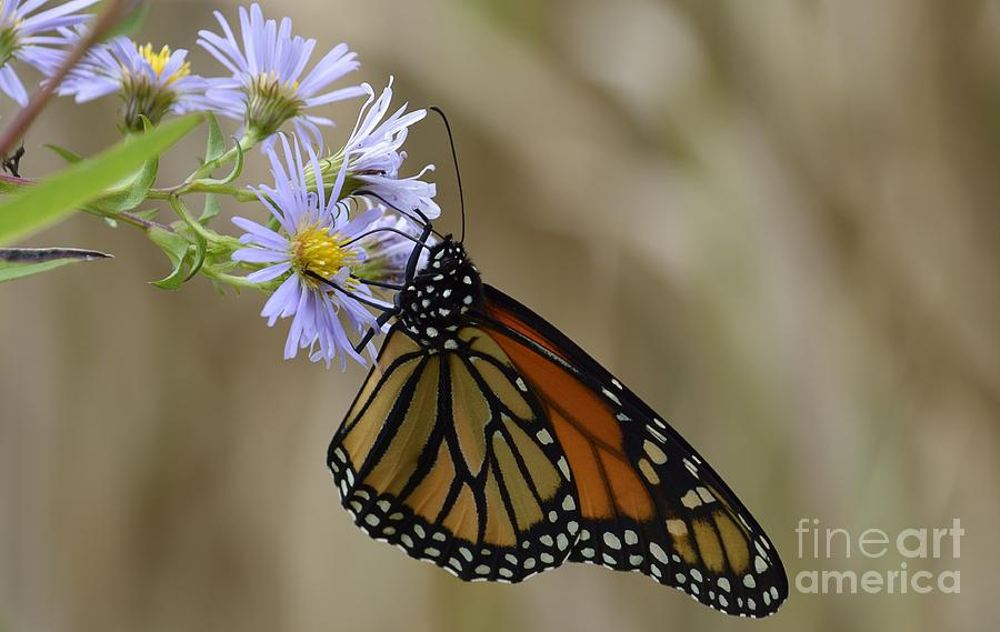 Orange Photograph - Monarch 2015 by Randy Bodkins