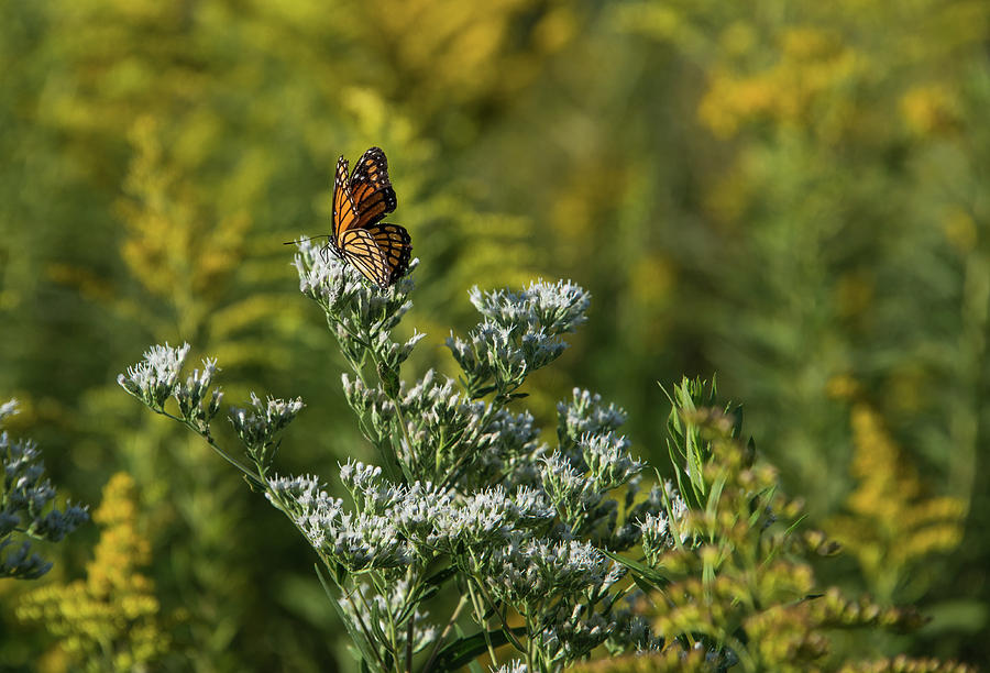 Monarch 3 by Lindy Grasser