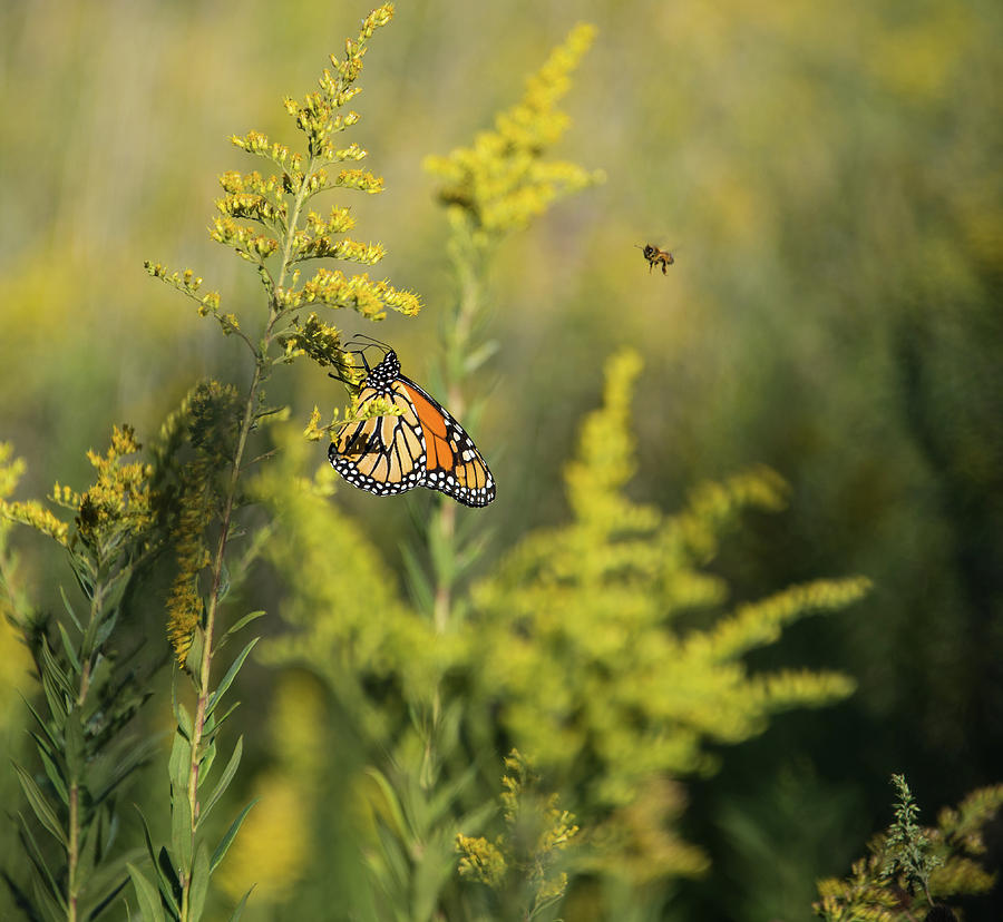 Monarch 4 by Lindy Grasser