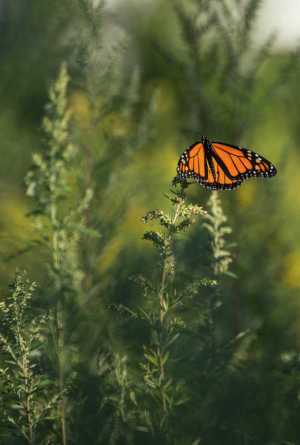 Monarch 5 by Lindy Grasser