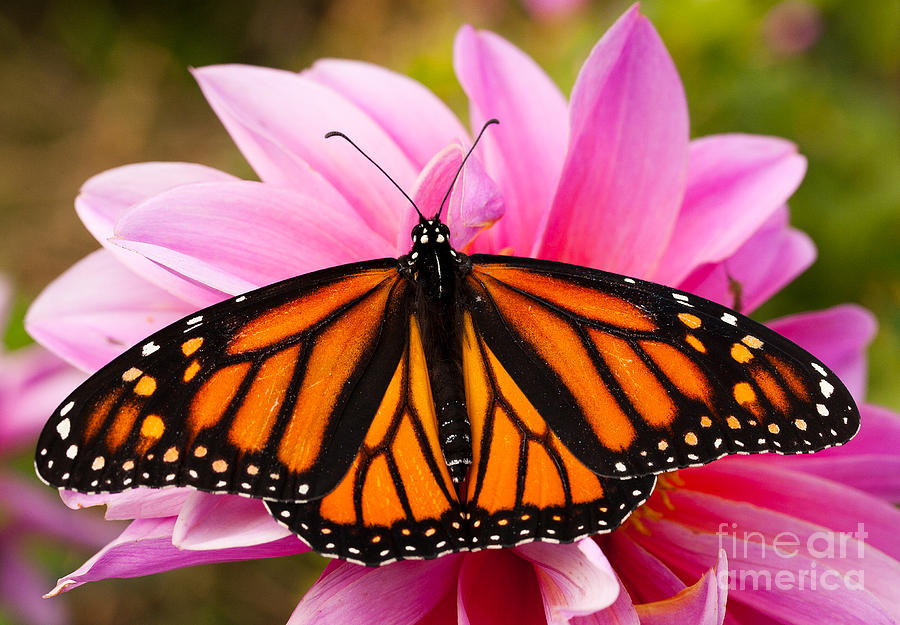 Augustin Photograph - Monarch And Dahlia by Steve Augustin