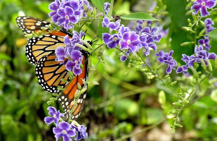 Butterfly Photograph - Monarch And Purple Flowers by Rosalie Scanlon
