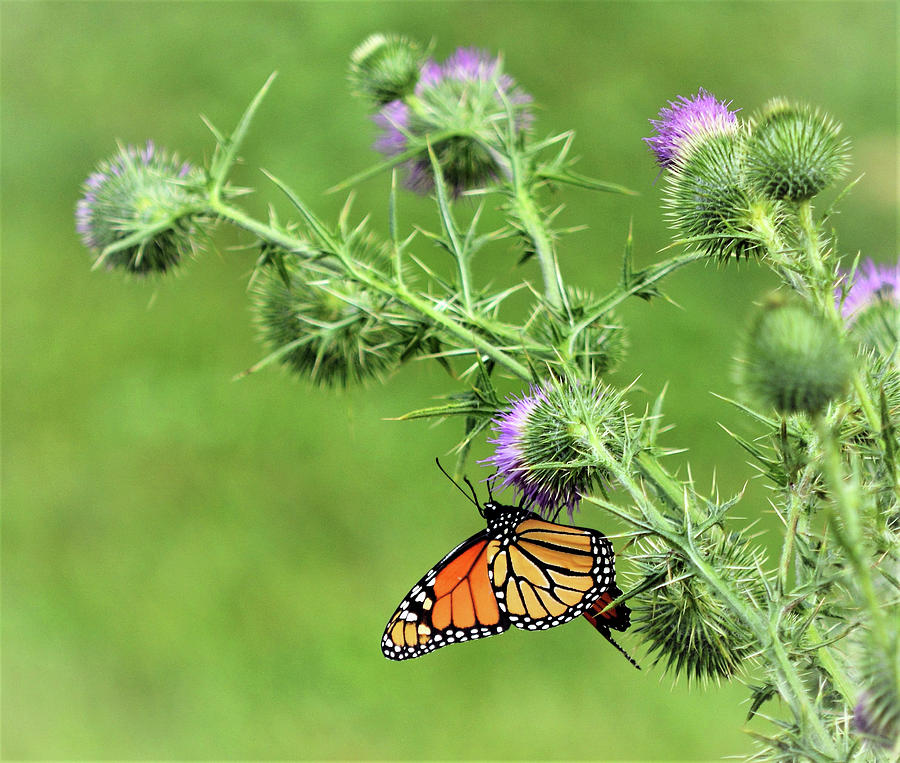 Monarch And Thistles Photograph