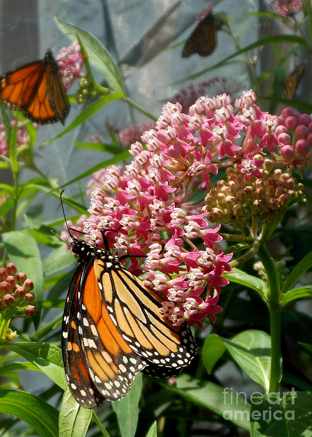 Monarch Butterfly Photograph - Monarch Arc by Kristin Aquariann
