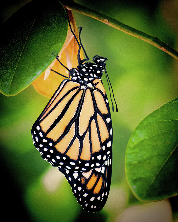 Monarch Butterfly 2 by Andrew Chianese
