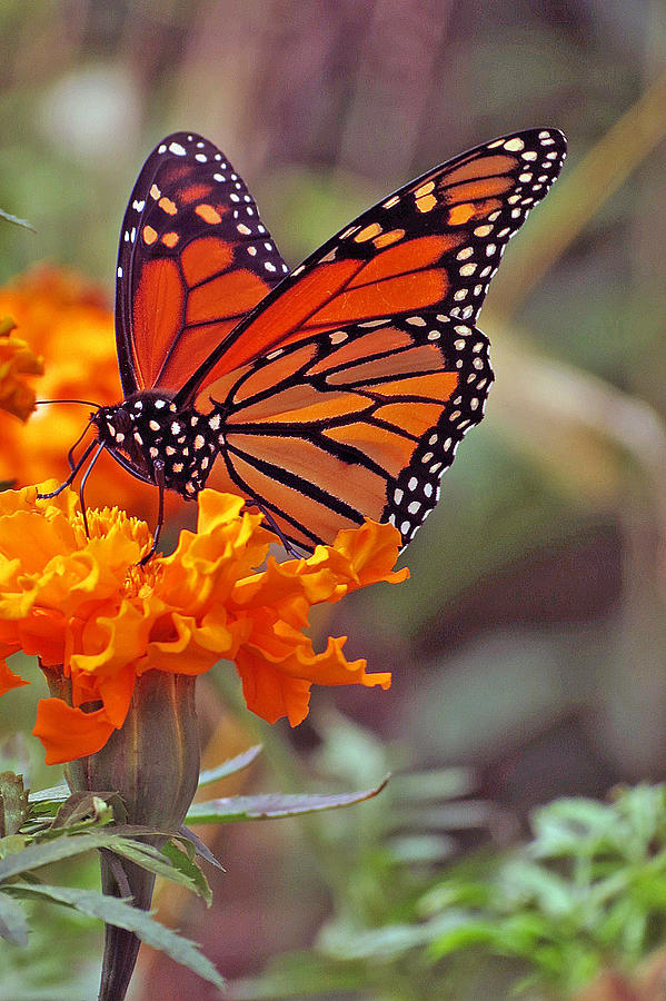 monarch butterfly and marigold flower photograph by kay novy