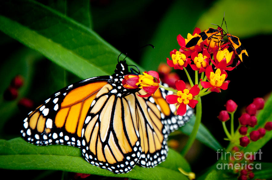 Monarch Butterfly Photograph - Monarch Butterfly At Lunch With 2 Box Elder Bugs by Andee Design