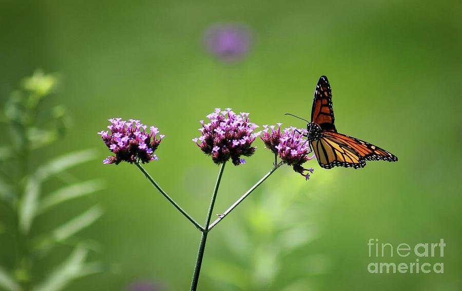 Monarch Photograph - Monarch Butterfly Balanced 2017 by Karen Adams