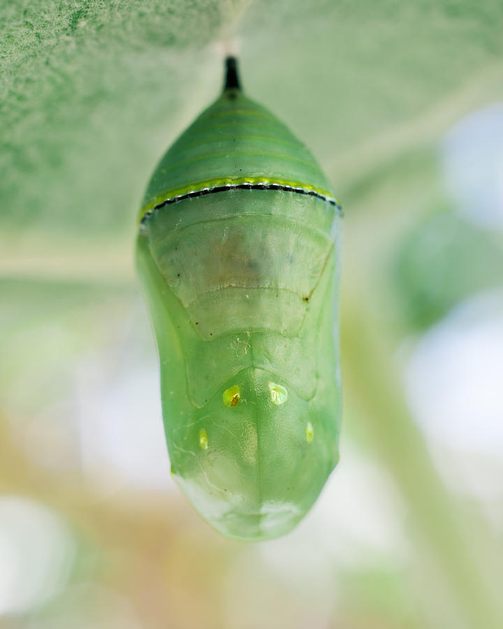Monarch Butterfly Chrysalis - Jeweled Treasure by Priya Ghose