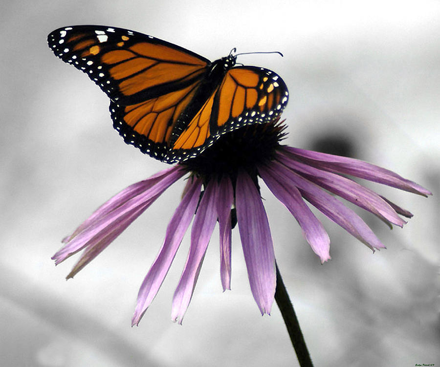 Monarch Butterfly Photography Photograph - Monarch Butterfly by Evelyn Patrick