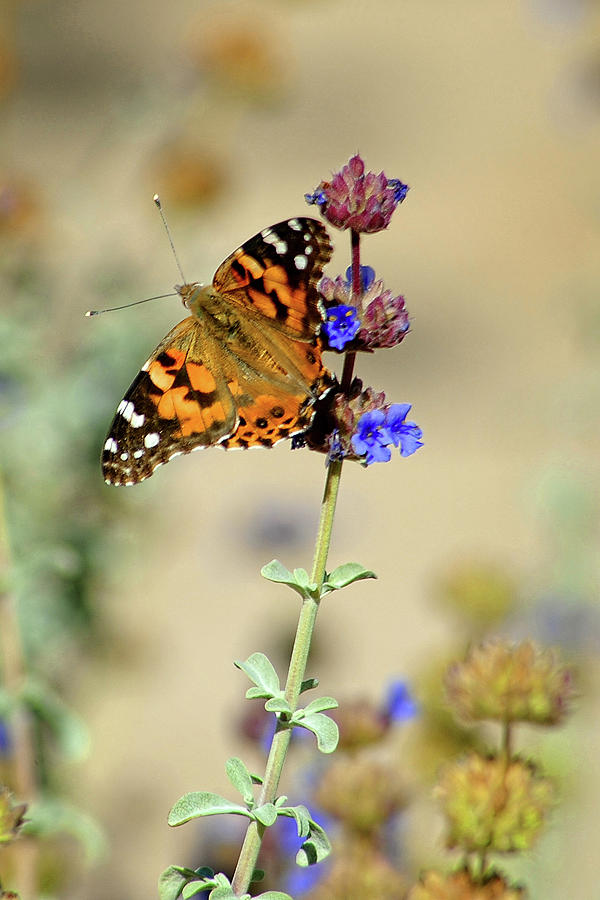 Monarch butterfly by John Bennett