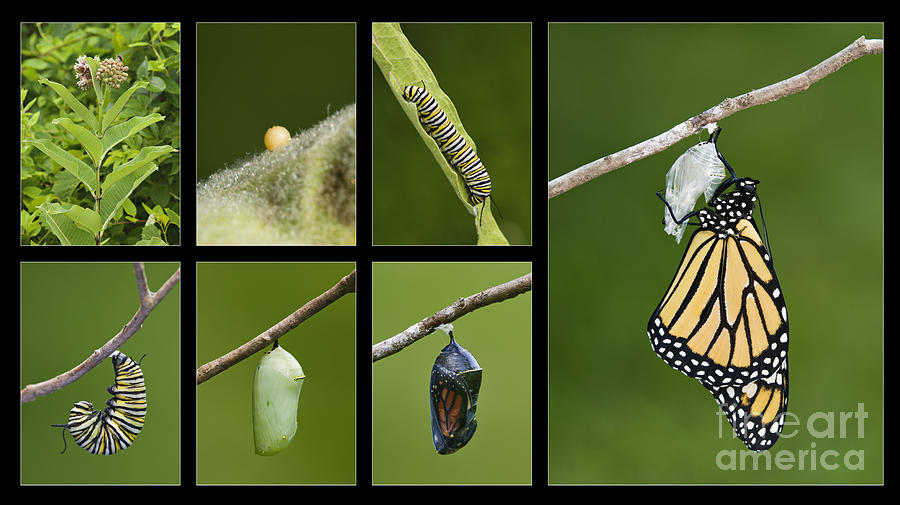 Monarch Butterfly Life Cycle - D003995 Photograph by Daniel Dempster