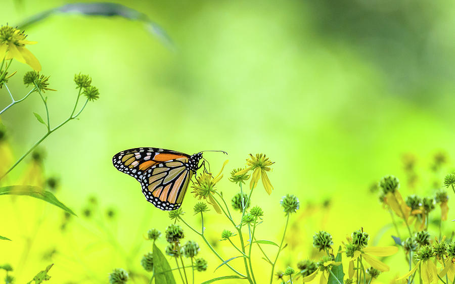 Monarch Butterfly by Lori Coleman