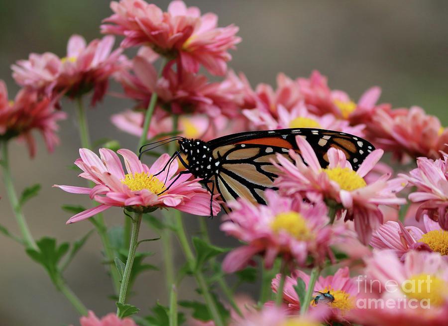 Monarch Butterfly Photograph - Monarch Butterfly by Lori Tordsen